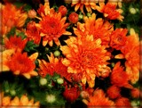 All About Orange by trixxie17, photography->flowers gallery