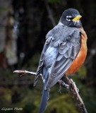American Robin by GIGIBL, photography->birds gallery