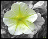 PETUNIA by ccmerino, photography->manipulation gallery