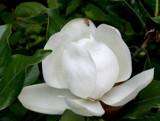 mimi's magnolia by jeenie11, Photography->Flowers gallery