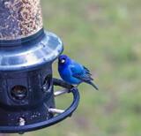 Deep Blue Indigo Bunting by gharwood, photography->birds gallery