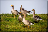 Geese Convention by corngrowth, photography->birds gallery