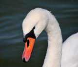 The Return Of The Swans by braces, photography->birds gallery