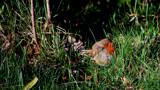 Robin Of Heft by braces, photography->birds gallery