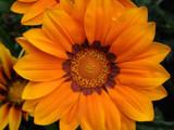 A slice of orange by Paul_Gerritsen, Photography->Flowers gallery