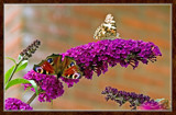 From My Wife's Garden, Two Of A Different Kind. by corngrowth, Photography->Butterflies gallery