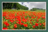Zeeland In Bloom 02, Poppyfield by corngrowth, Photography->Landscape gallery