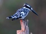 Pied Kingfisher by hermanlam, Photography->Birds gallery