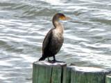 Cormorant by ccmerino, photography->birds gallery