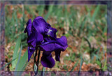 Purple by SusanVenter, Photography->Flowers gallery