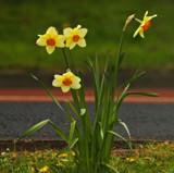 Daffs by biffobear, photography->flowers gallery