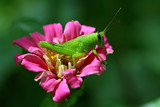 hopper in bloom by tee, photography->insects/spiders gallery