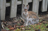 """""""Our Jack-rabbits Are Actually Snowshoe Hares"""" by icedancer, photography->animals gallery"""