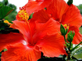A Caribbean Love Affair! by marilynjane, Photography->Flowers gallery