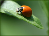 Happy Birthday to my Ladybug! pt 1 by madmaven, Photography->Insects/Spiders gallery