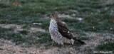 Sharp Shinned Hawk by tigger3, photography->birds gallery