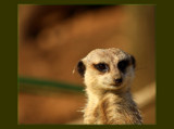 The Meerkat by tigger3, Photography->Animals gallery