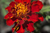 Red Marigold by timw4mail, photography->macro gallery