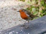 Will pose for food by Si, Photography->Birds gallery