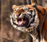 Tiger Face by tigger3, photography->action or motion gallery