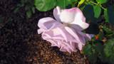 Lavander Rose Drooping 14 by gandarva, photography->flowers gallery