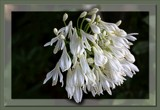Agapanthus - by request - jswgpb by LynEve, Photography->Flowers gallery