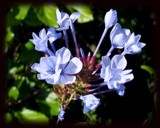 Plumbago by aljahael, Photography->Flowers gallery