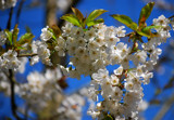 Blossom by braces, Photography->Flowers gallery
