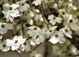 Oh! Those Dogwoods!! by verenabloo, Photography->Flowers gallery