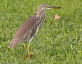 Chinese Pond Heron by jeenie11, photography->birds gallery