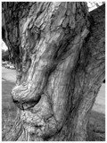 Old Man in the Tree by Bowow, contests->curves gallery