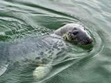 Atlantic grey seal by biffobear, photography->animals gallery