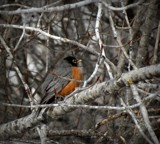Robin 2 by picardroe, photography->birds gallery