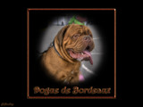 Dogue de Bordeaux by Junglegeorge, photography->pets gallery