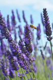 Bee on lavender by ernieleaf, photography->flowers gallery