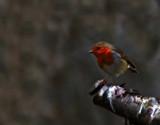 Bird on a limb by biffobear, photography->birds gallery