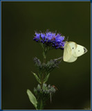The Cabbage White On Flower by tigger3, photography->butterflies gallery