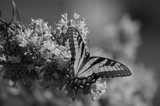 Flutterby B&W by bfrank, contests->b/w challenge gallery