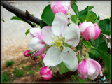 Yummy - Apple Blossoms by StarLite, photography->flowers gallery