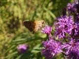 Slurp!  by brandondockery, photography->butterflies gallery