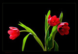 Red Tulip by kodo34, Photography->Flowers gallery