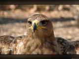 Talons VII by Hottrockin, Photography->Birds gallery