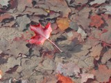 Leaf on clear water 2 by RobNevin, Photography->Water gallery