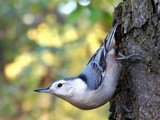 Nuthatch by BossCamper, photography->birds gallery