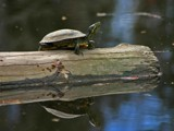 Campus Turtle by Yenom, Photography->Reptiles/amphibians gallery