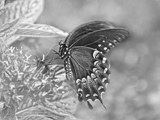 Butterfly In A Soft B&W by bfrank, contests->b/w challenge gallery