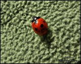 Lady bug by Dunstickin, photography->insects/spiders gallery
