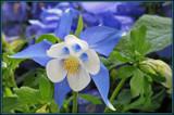 Blue Columbine by trixxie17, photography->flowers gallery