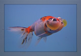Water-Bubble Eye Goldfish by ccmerino, Photography->Underwater gallery