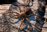 Wolf Spider by PhilipCampbell, photography->insects/spiders gallery